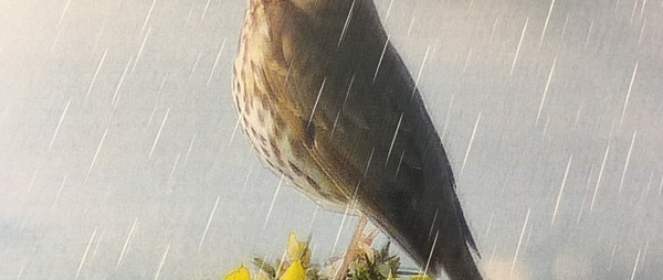 Song Thrush in Heavy Rain