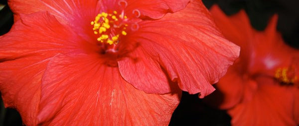 Tinnitus and hibiscus